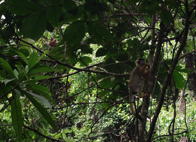 Spider monkey at Machia Park, Villa Tunari.