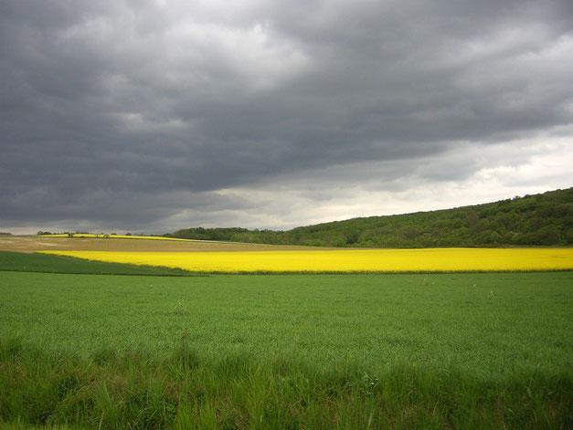 champs de blé et de colza en seine et marne sur des collines près de Provins avec des bois en arrière plan