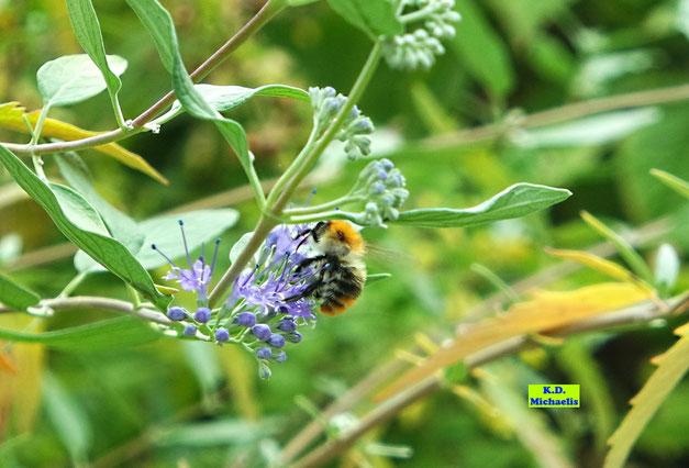 Filigrane, blaue Bartblumen-Blüten nebst nektartrinkender Wildbiene von K.D. Michaelis
