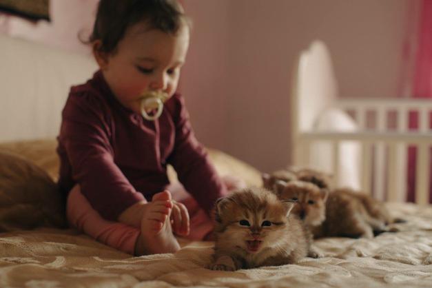 gatti siberiani, allevamento, gatti, cuccioli, siberiani, siberiano,cuccioli disponibili, gatti siberiani, cuccioli, siberiani, feld1, ipoalleregenico, gattini, neva masquerade, nem, allergia, gatto siberiano
