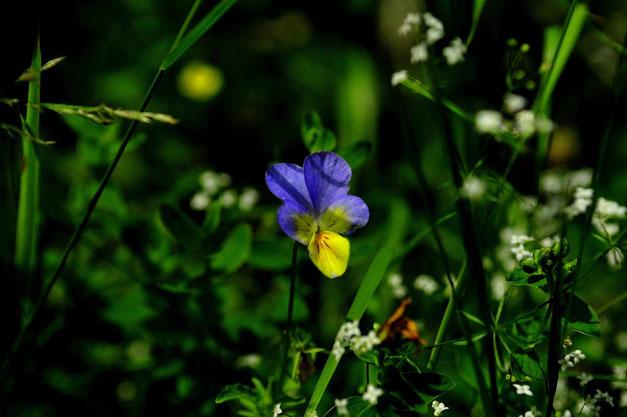 _DSC5841_Pensée sauvage-Pensée tricolore-Viola tricolor-violaceae