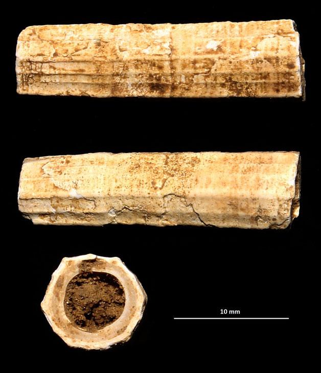 Dentalium sexangulum, colline di Tarquinia (VT)
