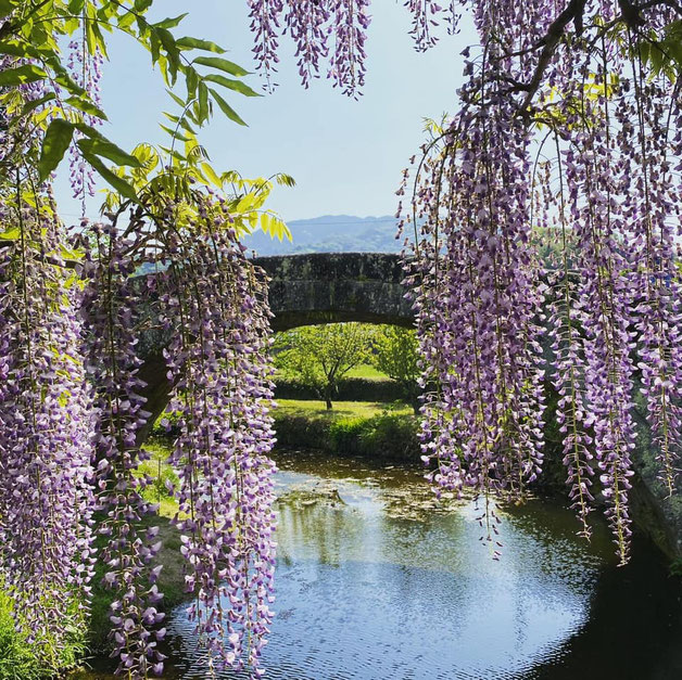 大分県産ローカルタレントが大分市西寒田神社に藤の花鑑賞