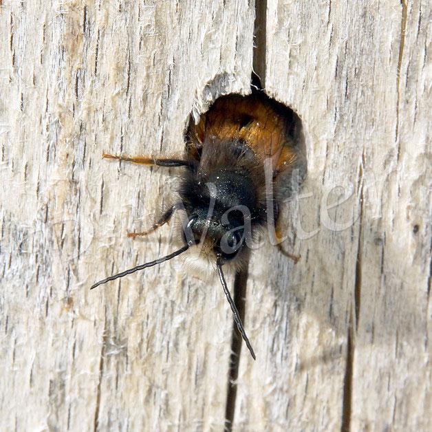 Bild: ein (weiteres) Männchen der Gehörnten Mauerbiene, Osmia cornuta, untersucht ein Bohrloch im Holz