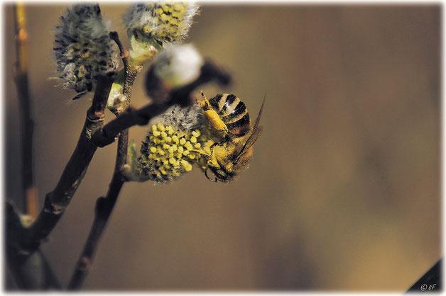 Eine Wildbiene beim Sammeln der ersten Pollen im Frühling