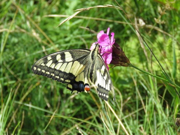 Ein schon leicht zerrupftes Schwalbenschwanz-Weibchen auf der Blumenwiese.
