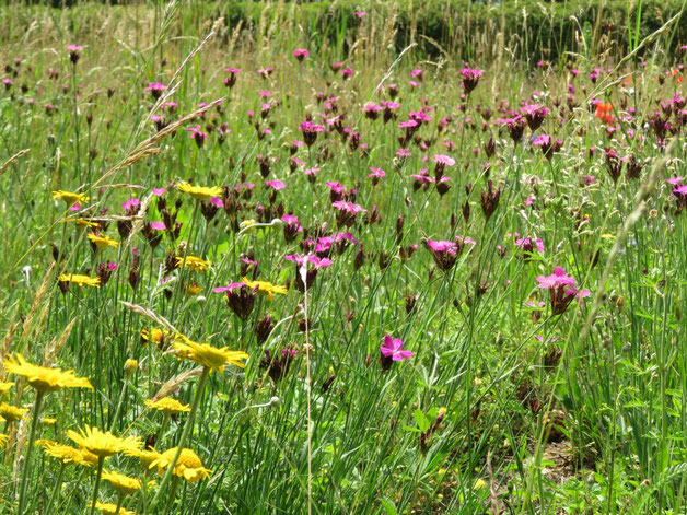 Wildblumenwiese im Naturgarten