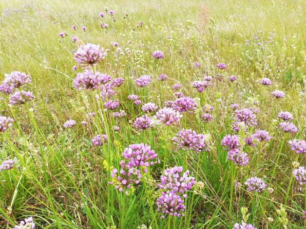 Magere Blumenwiese auf sandigem Boden.