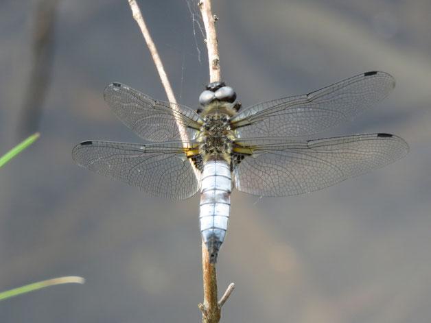 Im Spätfrühling und Frühsommer können wir vor allem die Spitzenfleck-Libellen an unserem Teich beobachten.