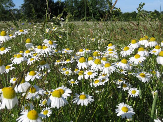 Blumenwiese in der Naturgarten-Rosenschule