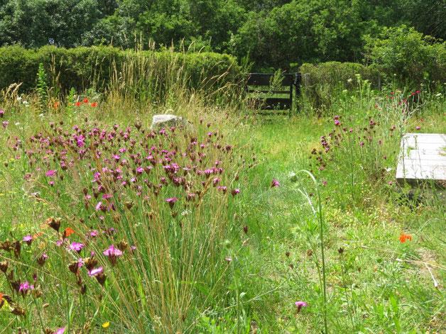 Die Rasenfläche auf dem Vorher-Bild sieht heute so aus. Insektenmagnet Wildblumenwiese
