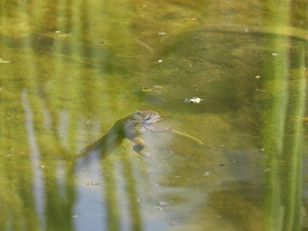 Pelobates fuscus im fischfreien Teich