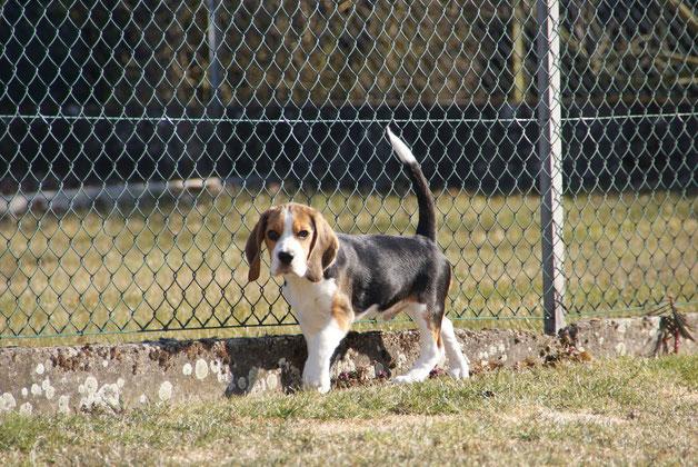 Little King Arthur Czarnowsky-Beagle Gütersloh, Little King Arthur, Bagio Boss Gintarine Fortuna * Lord James *, Czarnowsky , Beagle, Beagle, Beagle, Beagle, Beagle