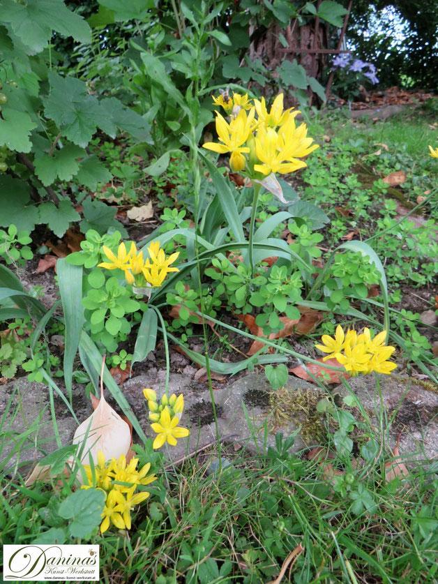 Bienenfreundliche Zwiebelblumen im naturnahen Garten: Sommerblüher Goldlauch Allium Moly