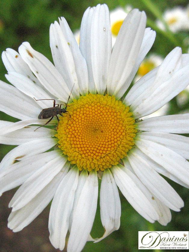 Käfer zählen zu den wichtigsten Bestäuberinsekten und sorgen für den Erhalt der Artenvielfalt von Pflanzen.