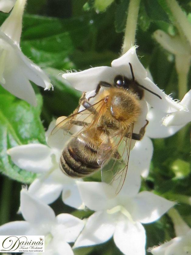 Honigbiene bei der Arbeit. Zu ihrern Aufgaben zählen Nektarsuche und Blütenbestäubung