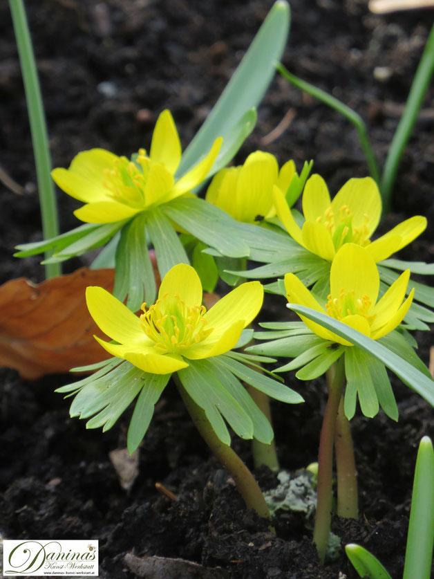 Bienenfreundliche Blumen: Frühblüher gelber Winterling