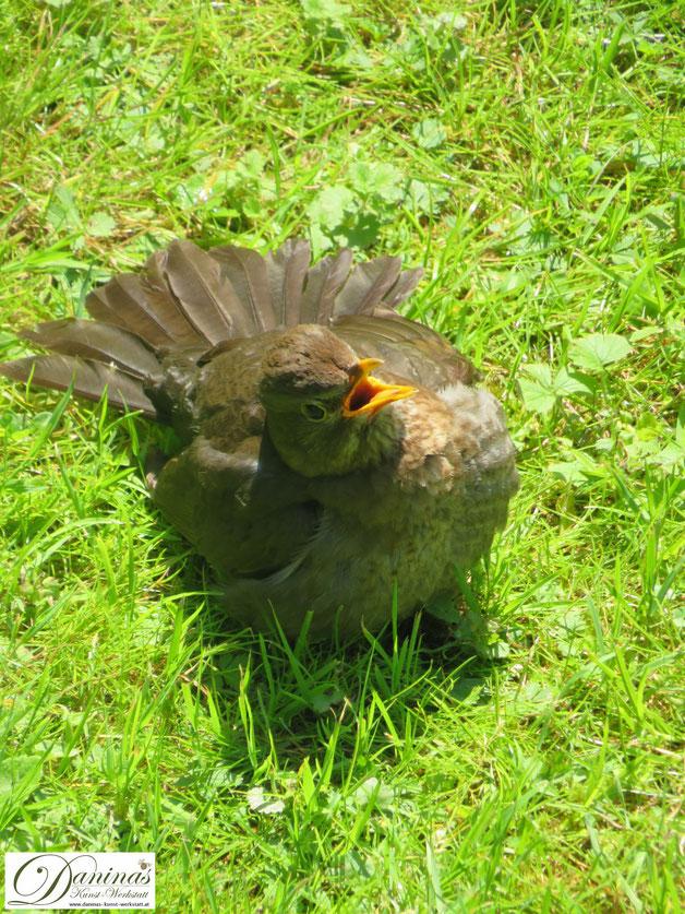 Auch Gartenvögel - wie diese Amsel - leiden unter der Hitze und haben erhöhten Trinkbedarf.