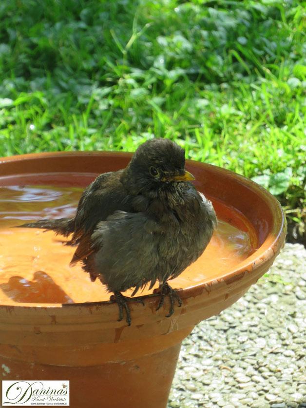 Durstige Amsel besucht die Vogeltränke und nutzt es für ein ausgiebiges Bad.