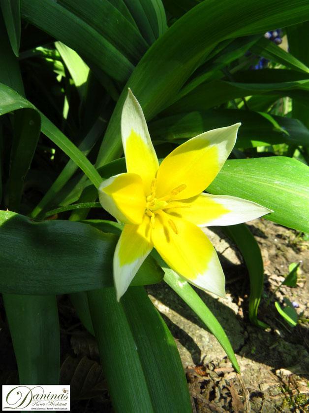Bienenfreundliche Blumen: Frühblühende Sterntulpe