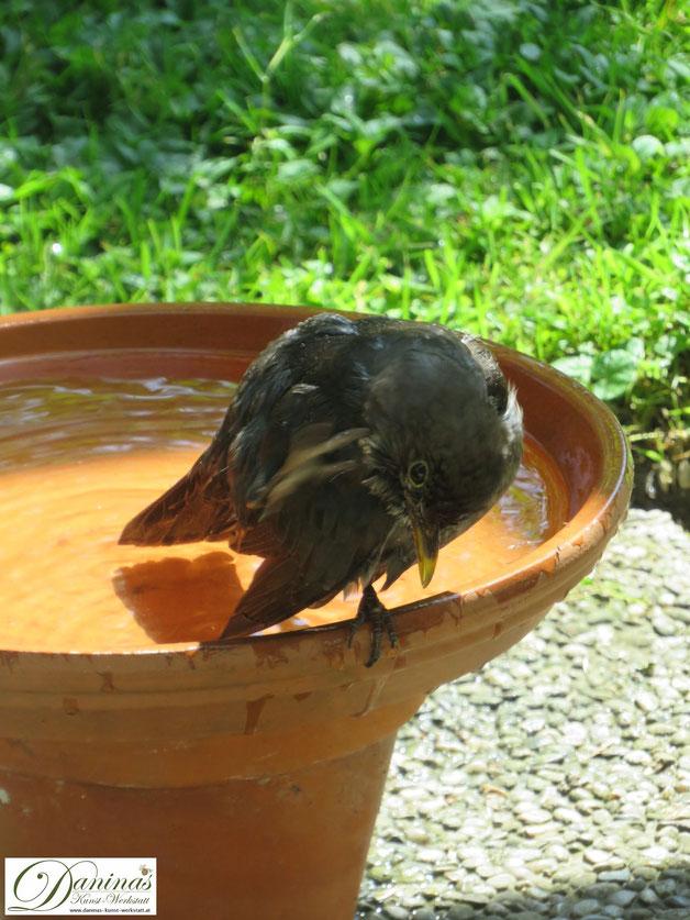 Vögel im Sommer. Amsel besucht die selbstgemachte Vogeltränke und nutzt es für ein ausgiebiges Bad.