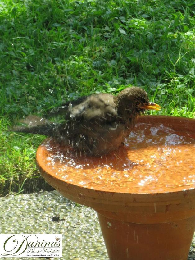 Gartenvögel im Sommer: Amsel besucht die selbstgemachte Vogeltränke und nutzt es für ein ausgiebiges Bad.