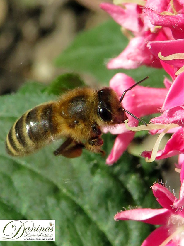 Honigbiene auf Nektarsuche.
