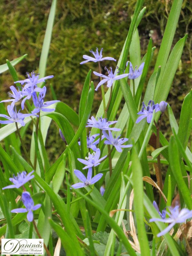 Bienenblumen im naturnahen Garten: Blaustern im Frühjahr