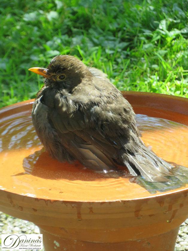 Gartenvögel im Sommer - Durstige Amsel besucht die easypeasy selbstgemachte Vogeltränke