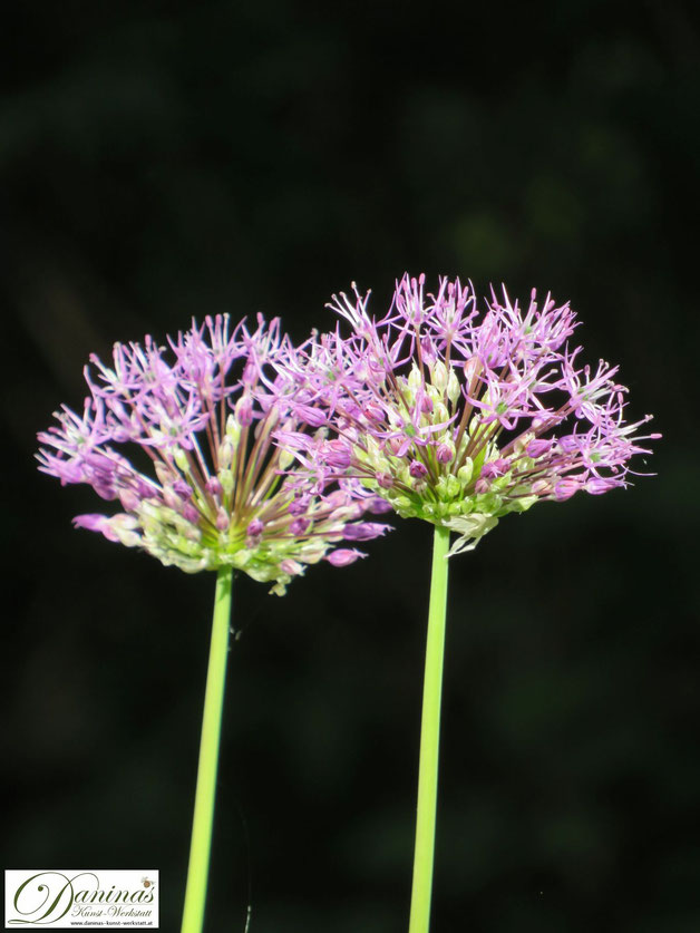 Bienenfreundliche Zwiebelblumen im Garten: Frühjahrsblüher Zierlauch Allium