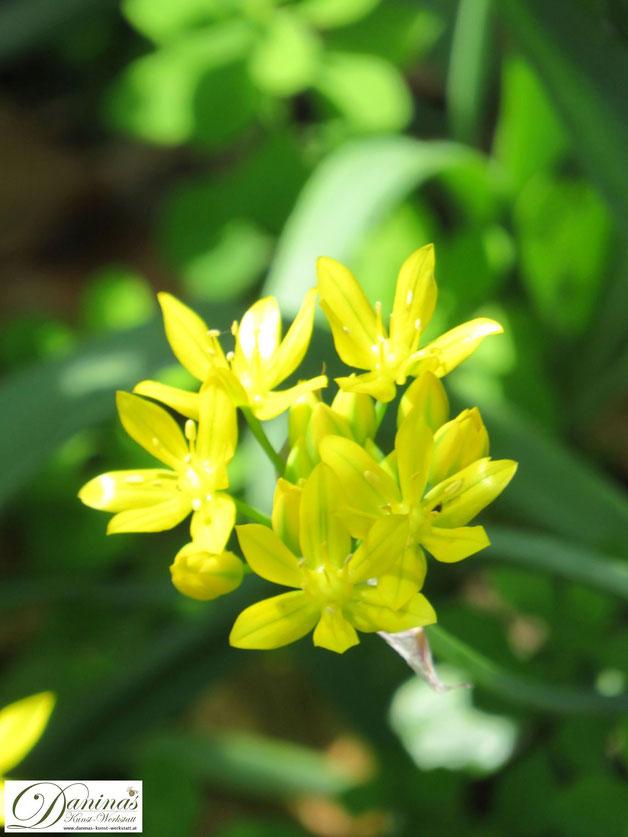 Bienenfreundliche Zwiebelblumen im Garten: Sommerblüher Goldlauch Allium Moly