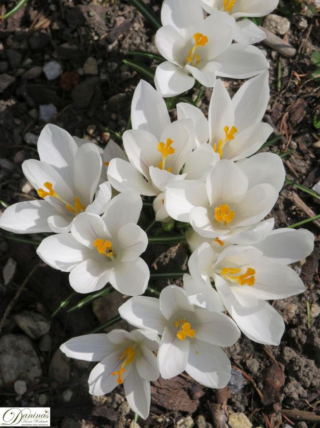 Bienenfreundliche Blumen: Frühblüher Krokus