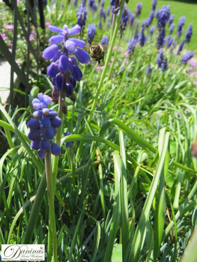 Bienenfreundliche Zwiebelblumen im Garten: Frühjahrsblüher Traubenhyazinthen