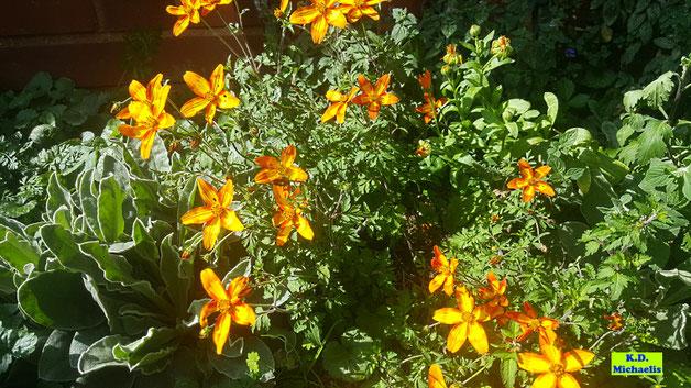 Orangerote Blüten der Goldmarie (auch Bidens, Zweizahn oder  Goldzweizahn genannt), die im Sonnenschein regelrecht leuchten und eine tolle Insektenweide sind. Foto von K.D. Michaelis