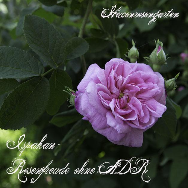 Robuste Rosen Hexenrosengarten Rosenblog Kordes Blattgesundheit Ispahan Damaszenerrose