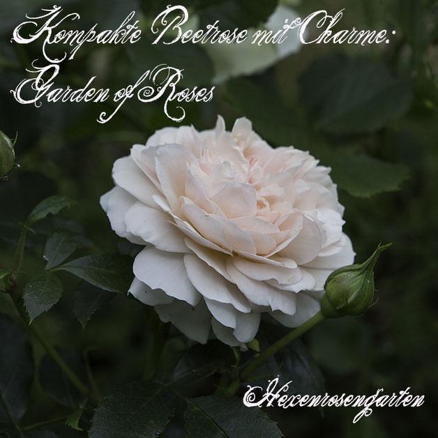 Robuste Rosen Hexenrosengarten Rosenblog Kordes Blattgesundheit Beetrose Garden of Roses ADR-Prädikat