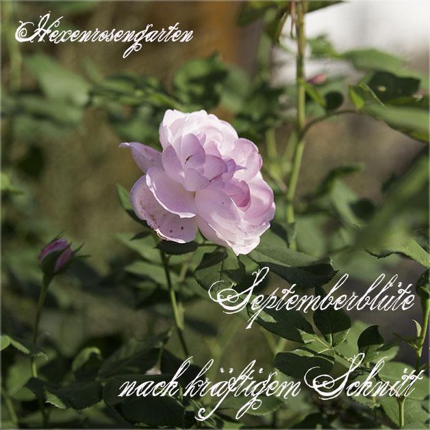 Robuste Rosen Hexenrosengarten Rosenblog Bourbonrosen Mme Pierre Oger Sommerschnitt