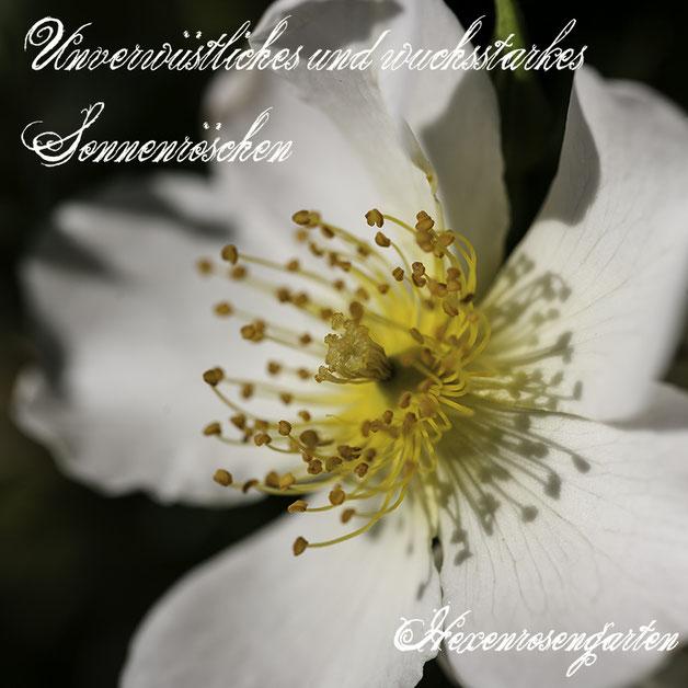 Robuste Rosen Hexenrosengarten Rosenblog Kordes Blattgesundheit Bodendeckerrose Sonnenröschen ADR-Prädikat