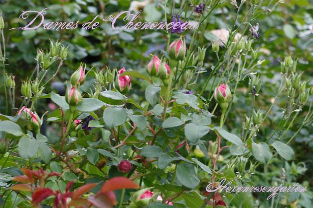 Rosen Rosenblog Hexenrosengarten Floribunda Delbard Dames de Chenonceau  Duftrose Rosiger Adventskalender