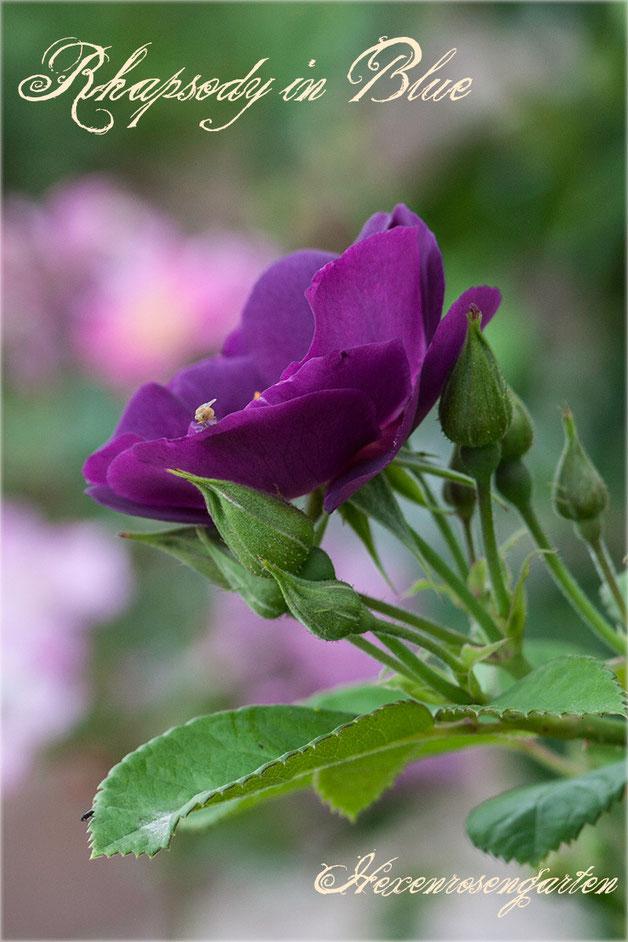 Rosen Rosenblog Hexenrosengarten Rhapsody in Blue Colishaw Warner lila purpur Staubgefäße Rosiger Adventskalender