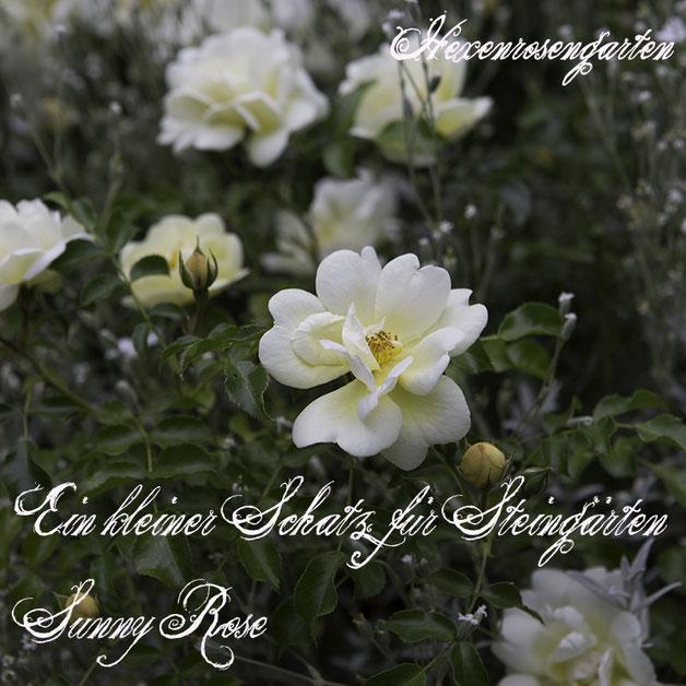 Robuste Rosen Hexenrosengarten Rosenblog Kordes Blattgesundheit Zwergrose Sunny Rose ADR-Prädikat