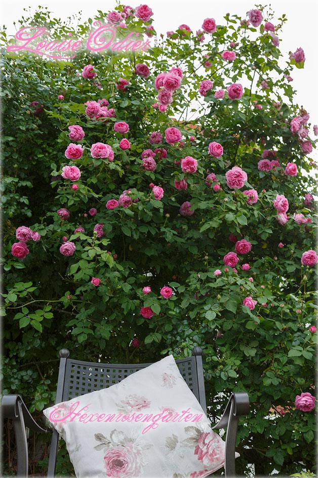 Rosen Rosenblog Hexenrosengarten Bourbonrose Margottin Louise Odier Duftrose Rosiger Adventskalender