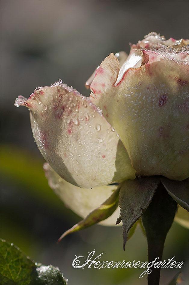 Rosen Rosenblog Hexenrosengarten Blüte Lovely Green Frost
