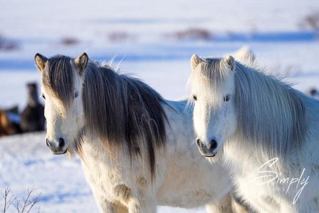 zwei weisse Pferde im Schnee im Iceland-Winter