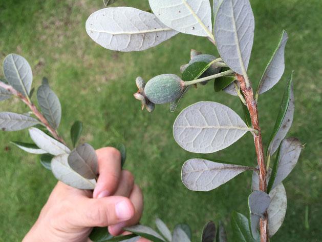 フェイジョアは葉の色にも特徴がある。裏はちょっと白っぽい。