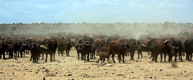 Bufalo africano - Mandria di bufali africani
