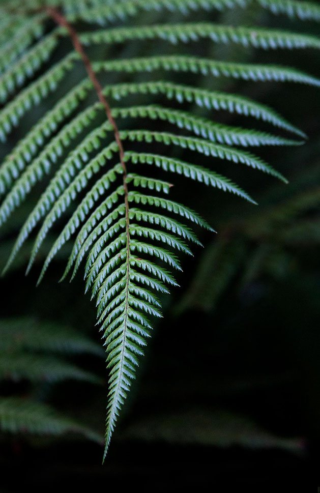 Fern Leave in the Aotearoa, New Zealand Rainforest the Nature Symbol, Northern Island, 1181x1820px