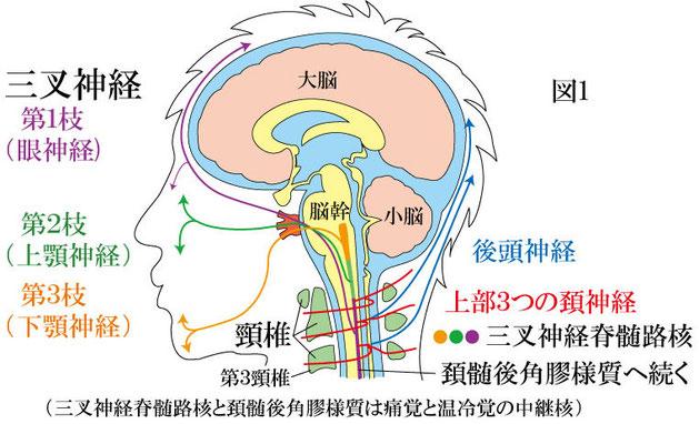 三叉神経頚髄核