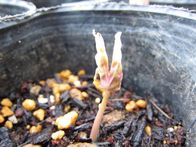 人差し指と中指のようなリアルさ。今後の成長がますます楽しみになったアサガオの芽
