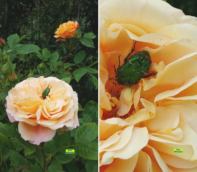 Nahaufnahme eines wunderschönen, metallisch grün schimmernden Rosenkäfers auf einer apricotfarbenen Rosenblüte von K.D. Michaelis